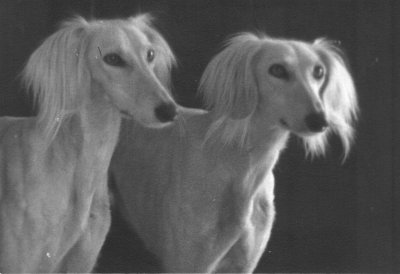 The functional Saluki – lessons from the coursing field
